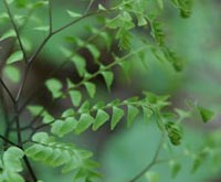 Maidenhair fern close up