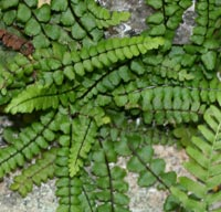 Maidenhair Spleenwort growing in crevice