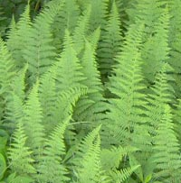 Hay-scented Ferns