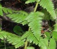 Clinton's Wood Fern-complete plant
