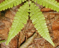 Northern Beech Fern
