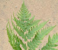 Eastern Bracken Fern