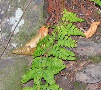 Blunt-lobed Woodsia on ledge