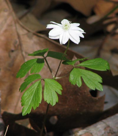 Double-flowered Wood Anemone