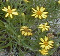 Sickle-leaved Golden Aster