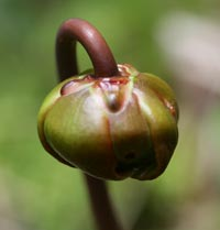 Pitcher Plant bud