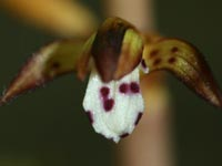 Close-up of Spotted Coralroot