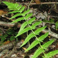 Slosson's Wood Fern