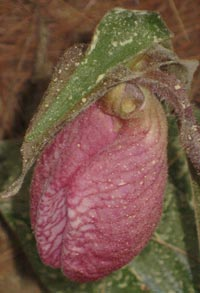 Pink Ladyslipper with White Pine pollen