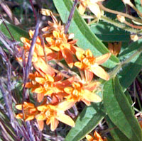 Butterflyweed in Bloom